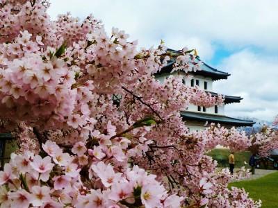 松前公園 桜