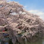 臥竜公園の桜2020開花・見ごろライトアップは?駐車場あるの?