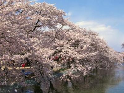臥竜公園 桜