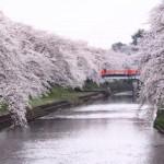 新境川堤の桜(百十朗桜)2018開花見ごろは?駐車場と混雑は?