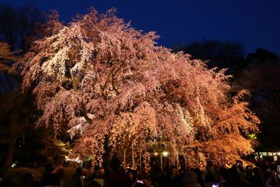 六義園 夜桜