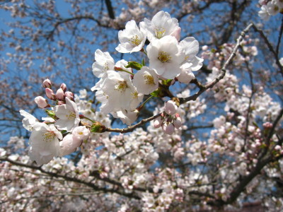 鶴ヶ城公園 桜