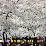 鶴舞公園の桜2018屋台ビアガーデン場所取りもこれで万全!お花見を楽しめます!