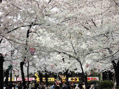 鶴舞公園 桜