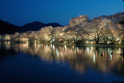 臥竜公園 夜桜