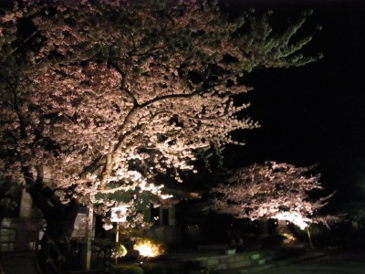 松前公園 夜桜