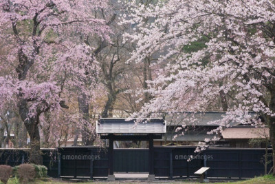 角館 しだれ桜