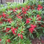 ホウセンカの育て方「種まきや苗植えの時期とコツは?」花言葉はこんな悲しいことだとは!