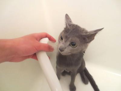 猫 シャワー