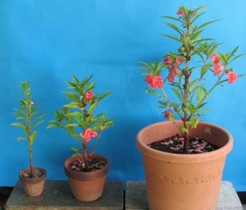 ホウセンカ 鉢植え