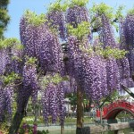 亀戸天神の藤まつり2018開花と見ごろ屋台ライトアップはいつから?
