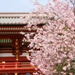 鶴岡八幡宮の桜2020見ごろライトアップはいつ?駐車場もチェック!