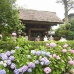 鎌倉 極楽寺あじさい2020見どころ開花状況!駐車場はあるの?