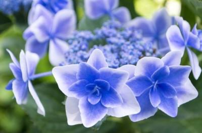 三千院 星紫陽花